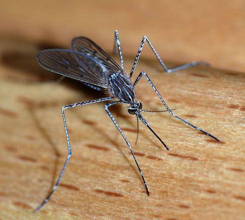 670px-Mosquito_2007-2